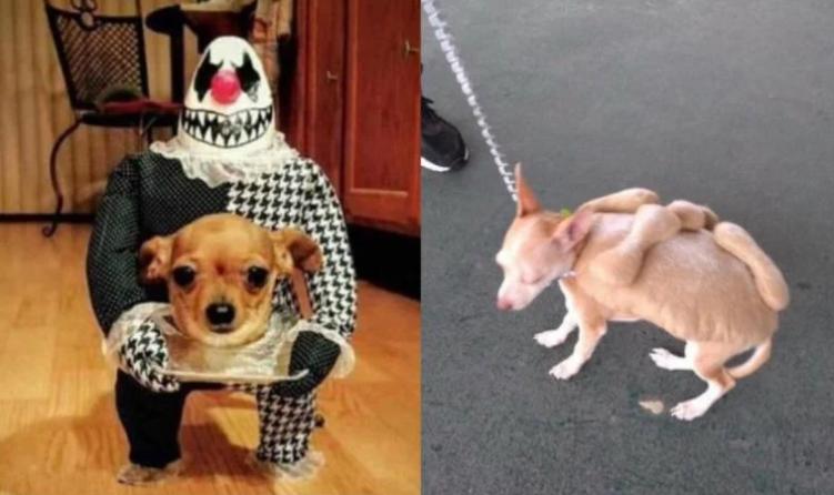 disfraces, perros, Halloween, canes, celebración, EEUU