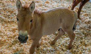 clon, caballo, san, diego, zoo