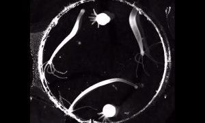 Hydra vulgaris, microscopio, imagen, video,