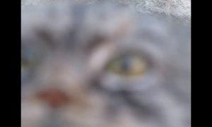 Manul, felino, cámara, video viral