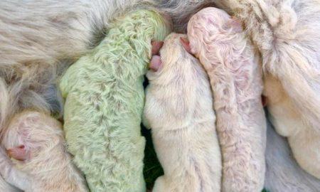 Pistacho, perrito verde, can, animales