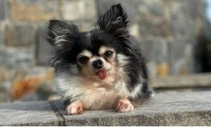 Mackenzie, perra, primer lugar, Estados Unidos, canino más heroico, premio, galardón