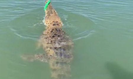 pescador, cocodrilo, pez, video viral, animal salvaje
