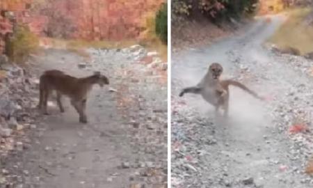 puma, humano, Utah, crías, animal salvaje, EEUU, video viral, instinto animal