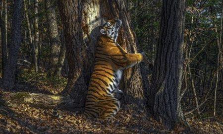 Sergey Gorshkov, fotógrafo, vida silvestre, concurso, fotografía, tigre