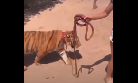 joven, tigre, paseo, Sinaloa, México, video viral, animal salvaje