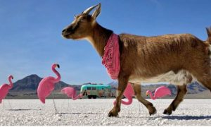 Frankie, cabra, viaje, aventura, Estados Unidos