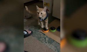 Gato, habla, botones, voz, sonido, insulto, groseria, video viral
