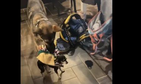 Perro, disfraz, taco, video viral