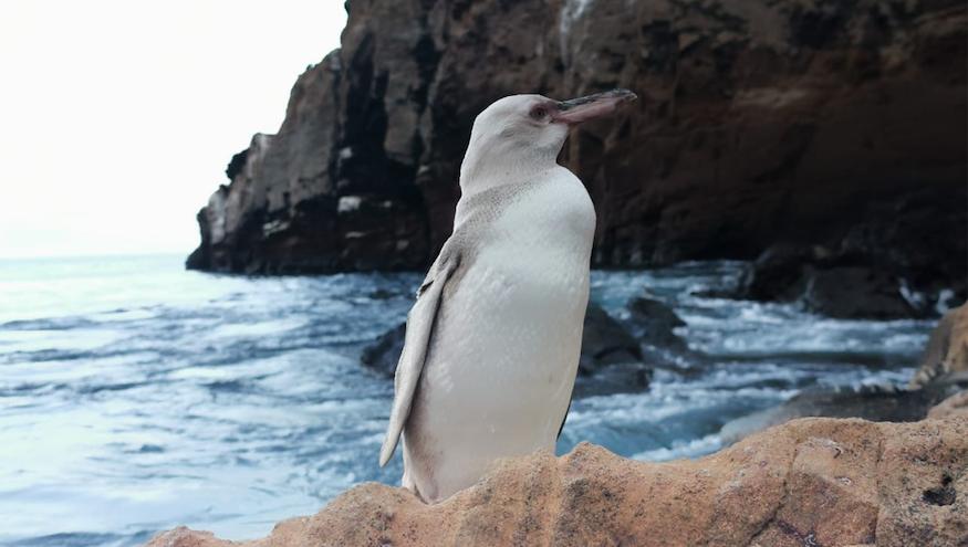 Islas Galápagos, pingüino blanco, medio ambiente