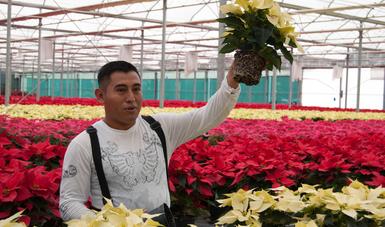 agricultura, productores, noche, buena, flor, méxico