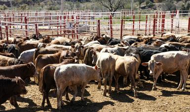 agricultura, incremento, méxico, exportación, estados, unidos, ganado, albino