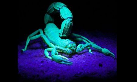 Alacrán, escorpión, brillo, oscuridad