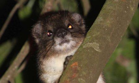 Animal, descubren, especie, mamífero, Kenia, Hyrax