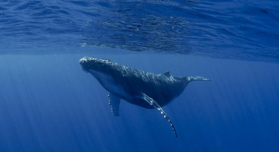 ballena azul, descubrimiento, canto, océano Índico