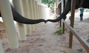 Kavaan, elefante, solitario
