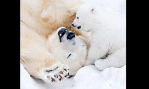 Osos, osos polares, oso polar, invierno, hielo, calentamiento global