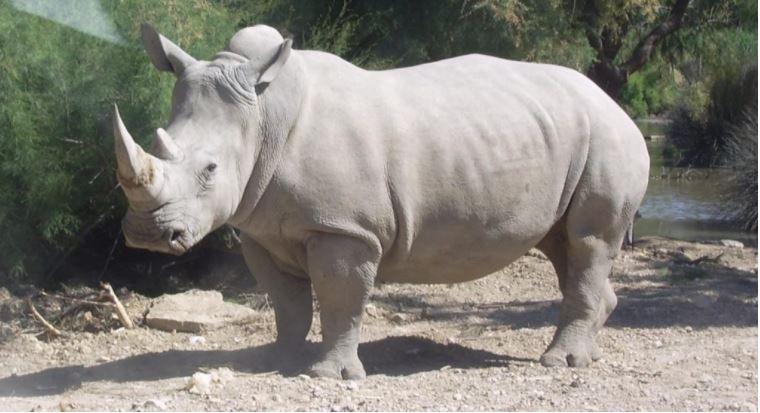 Rinoceronte blanco del norte, declarado, extinto